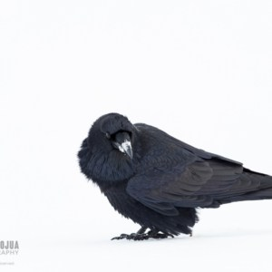 Raven playing in the snow
